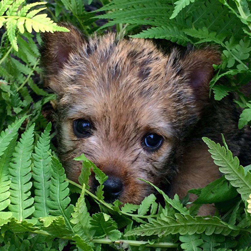 Norwich Terrier Upper Airway Syndrome (NTUAS) Resources for Owners and Veterinarians